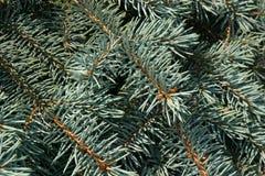 Granträd, bakgrund för juldesign Royaltyfri Fotografi
