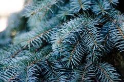 Granträd, bakgrund för juldesign Arkivfoton