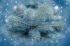 Granträd, bakgrund för juldesign Fotografering för Bildbyråer