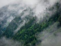 Granträd i dimman Arkivbild