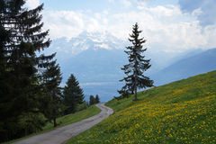 Granträd i en äng av maskrosor nära Leysin, kanton Vaud, Schweiz Arkivfoto