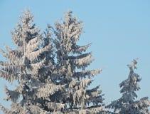 Granträd i frost Arkivbilder