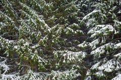 Granträd i snön arkivbilder