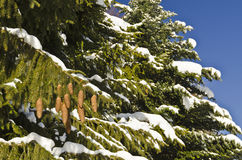 Granträd med bruna kottar som täckas delvist med snö arkivfoto