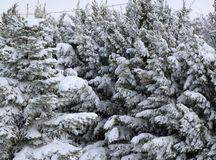 Granträd och sörjer träd som täckas i insnöad vinter arkivbild