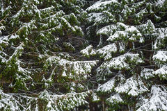 Granträd och snö royaltyfri bild