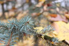 Granträd på en bakgrund av träd med gula sidor Hösten färgar royaltyfria foton