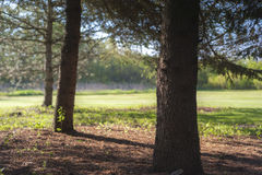 Granträd på kanten av en parkera Royaltyfri Bild