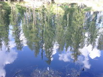 Granträd reflekterade i en sjö Arkivbild