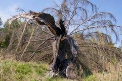 Granträd som är brutet vid blixt, efter en hård storm royaltyfria foton