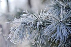Granträd som täckas med isnärbild Royaltyfria Bilder