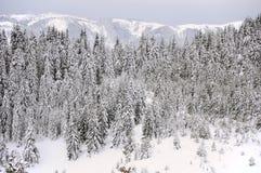 Grantrees i snow Royaltyfri Foto