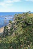 Grantrees vid hav Arkivbild