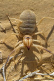 Grant's camel spider, or sun spider, or wind scorpion, or solifuge (Galeodes granti) Stock Image