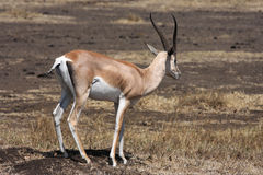 Grants Gazelle Lizenzfreie Stockfotografie