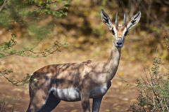Grants Gazelle in Bogoria, Kenya Stock Photos