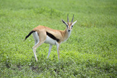 Grants gazelle carefully watching for predators. Alert Grants gazelle  carefully watching for predators in African serengeti Royalty Free Stock Photos