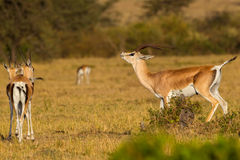 Grants Gazelle, Flehmen Response. A male Grant`s Gazelle, seeming to sniff the air, not far from two females. He is smelling for their urine, to distinguish if Royalty Free Stock Images