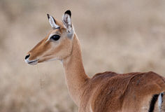 Grants gazelle. A Grants gazelle with a grass blade Stock Photo