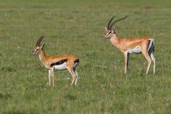 Grants Gazelle Male with Thomsons Gazelle Royalty Free Stock Photo