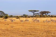 Grants gazelles. African landscape with gazelles, Amboseli, Kenya Stock Photos