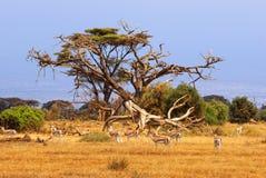 Grants gazelles. African landscape with gazelles, Amboseli, Kenya Stock Photo