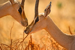 Grant´s Gazelles tenderness Stock Image