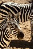Grants Zebra Stock Images