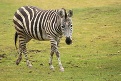 Grants Zebra Stockfotos