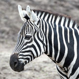 Grants Zebra (Equus burchelli boehmi) Stock Images