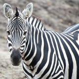 Grant's Zebra (Equus burchelli boehmi) Stock Photo