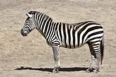 Grants Zebra (Equus burchelli boehmi) Stock Photos
