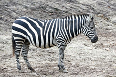 Grants Zebra (Equus burchelli boehmi) Stock Image