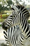 Grants Zebra (Equus Quagga boehmi) Stockfotos