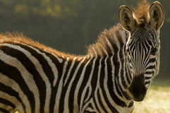 Grants Zebra (Equus quagga boehmi) Royalty Free Stock Images