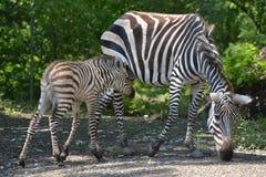 Grants Zebra-Fohlen mit Stute Stockbild