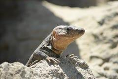 Granu Canaria Gigantyczna jaszczurka Zdjęcie Royalty Free