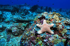 Granular starfish. Choriaster granulatus underwater in the coral reef of the Maldives Royalty Free Stock Photos