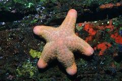Granular starfish Stock Image