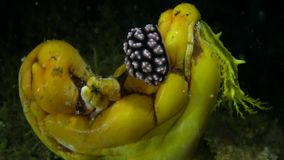 Granulated phyllidiella Phyllidiella granulata and Yellow sea cucumber on sea sponge in Raja Ampat stock footage