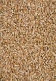 Granuli del frumento. Fotografia Stock