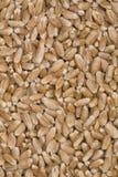 Granuli del frumento. Immagine Stock Libera da Diritti