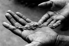 Granuli del riso in mani Fotografia Stock Libera da Diritti