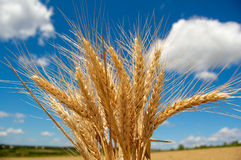 Granuli di cereale pieni di sole fotografia stock libera da diritti