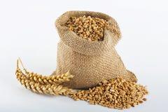 Granulo del frumento Immagini Stock