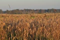 Granulo nei campi Orecchie di maturazione Raccolto e grano in farina poderi immagini stock