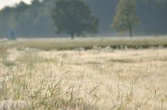 Granulo nei campi Orecchie di maturazione Raccolto e grano in farina poderi fotografia stock