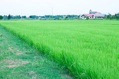 Granulo, riso Fotografia Stock Libera da Diritti