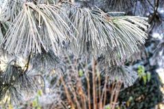 Granvisare som täckas med frost Fotografering för Bildbyråer