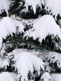 Granvisare som täckas med snö Arkivbild